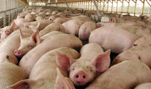 Prevén porcicultores sonorenses exportar más en 2018