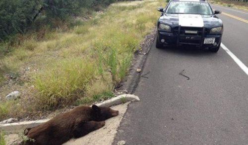 Hallan oso muerto en carretera de Sonora