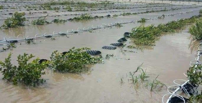 Sinaloa pierde 15,000 hectáreas de cultivos por las lluvias