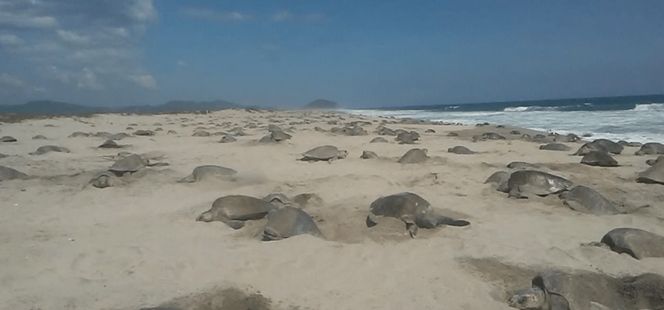 Llegan más de 150 mil tortugas golfinas a Oaxaca