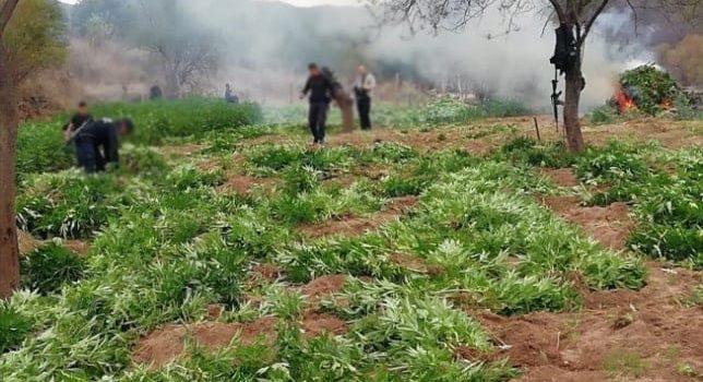 Destruye Policía Federal 54 toneladas de aparente marihuana en Sonora