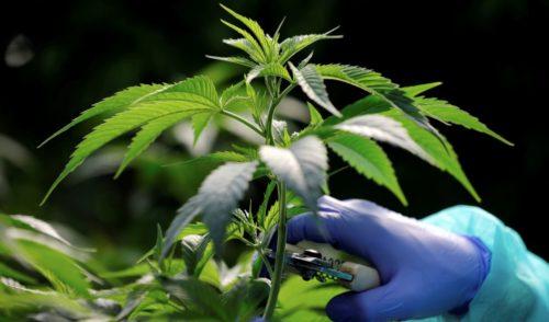 Morena busca poner candado a transnacionales en materia de mariguana