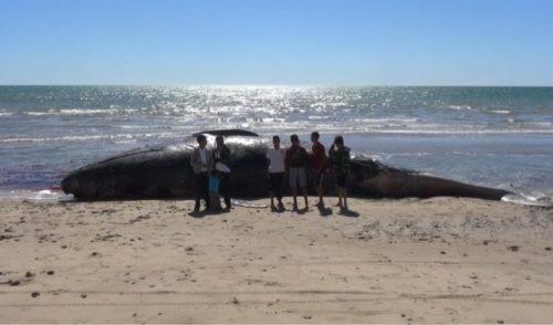 Muere ballena en playa Las bocas de Huatabampo