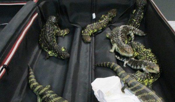 Detienen en Australia a japonesa por intentar contrabandear 19 reptiles en su maleta