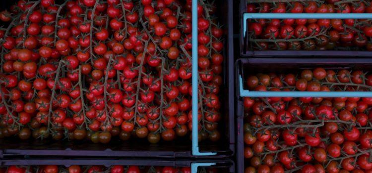 Por aranceles de EU a México, tomateros estiman que exportación caiga en el mediano plazo