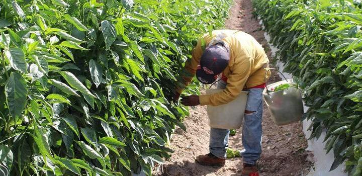 Agricultura y actividades primarias en Sinaloa, en declive: INEGI