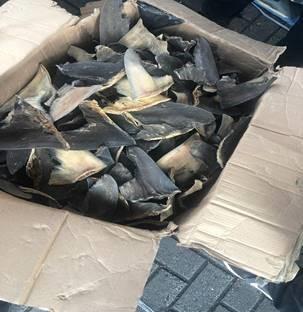 SAT asegura en Manzanillo 10.4 toneladas de aletas de tiburón